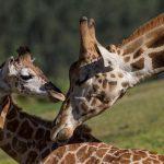 Una giraffa nel mirino